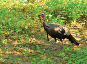 Turkeys are blessed with phenomenal vision…supposedly capable of seeing 300 degrees without moving their heads. Possessing such an ability puts predators and hunters at a great disadvantage.